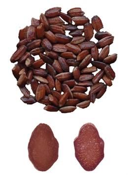 Este nuevo arroz transgénico de color púrpura es rico en antioxidantes