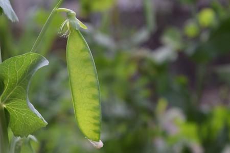 Tirabeques, los guisantes más tiernos que se comen con su vaina: qué son y cómo cocinarlos
