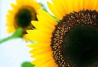 Fuente de vida, el primer aceite de girasol virgen ecológico español