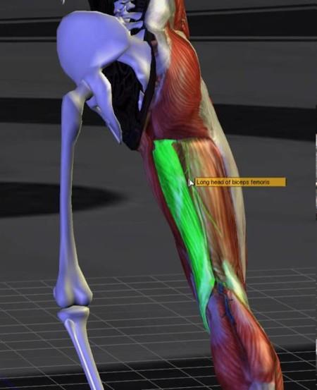 Anatomía:¿Isquiotibiales, femorales? No,Isquiosurales