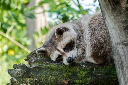 mapache durmiendo