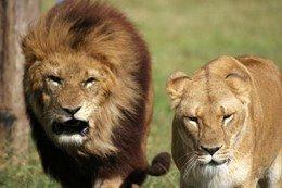 """""""Superleones"""" en Botsuana, un experimento de la naturaleza"""