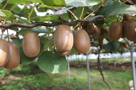Kiwi Arboles