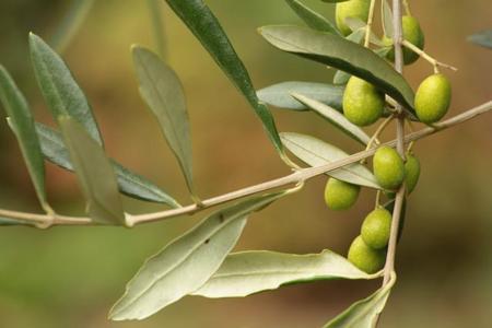 Hojas de olivo ¿el nuevo antiviral?