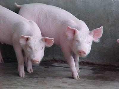 ¿Cómo mejorar las condiciones de la producción industrial de animales?