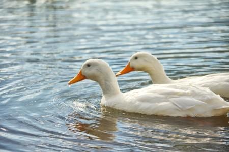 Ducks 889211 640