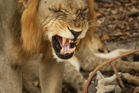 Consejos para encontrar y fotografiar leones durante un safari fotográfico