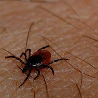 ¿Puede matarte una garrapata? Sanidad vigila a 200 personas por un caso de fiebre hemorrágica