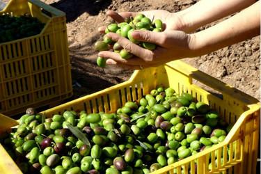 Nueva técnica analítica para evitar el fraude en el aceite de oliva virgen extra