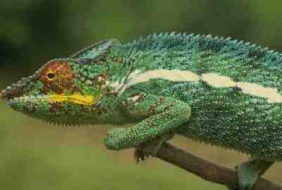 Los colores del camaleón