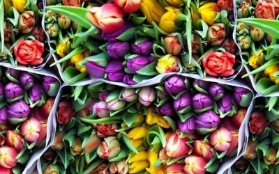 Comienza la temporada de tulipanes en Holanda