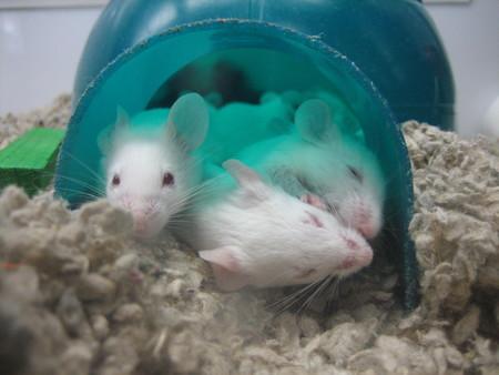 La dieta cetogénica parece prevenir el deterioro cognitivo en ratones