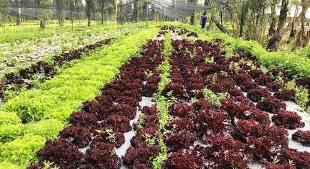 Chinampa De Lechuga Agricultura
