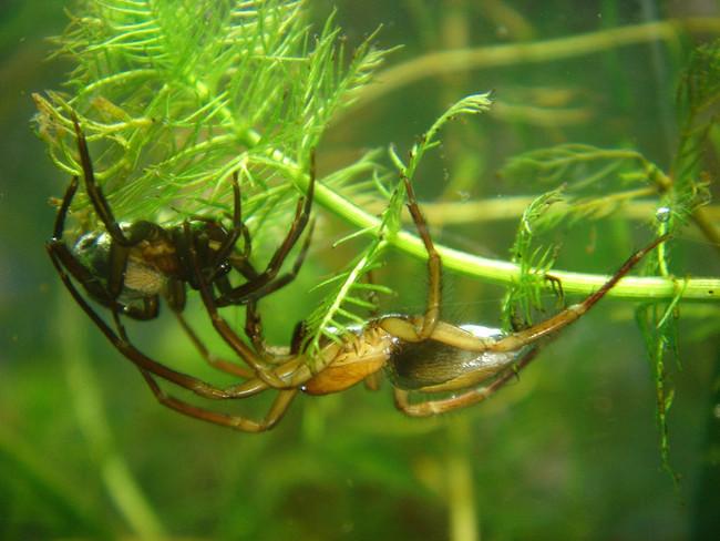 ¿Te crees a salvo de las arañas si estás en el agua? No con ésta
