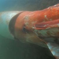 Hallado un calamar gigante en aguas superficiales. La llegada de Cthulhu, más cerca