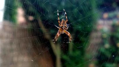 El veneno de la araña también podría servir para combatir el dolor