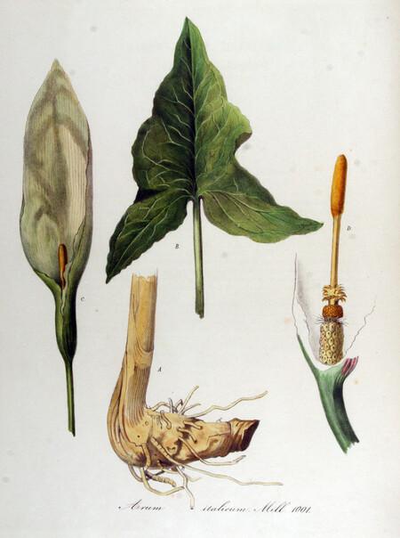 Arum Italicum Flora Batava Volume V13