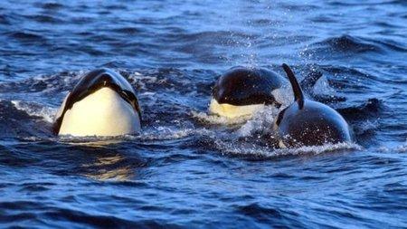 Abuelas humanas y abuelas ballenas