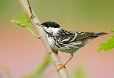 Este pequeño ave de 12 gramos realiza una de las migraciones más asombrosas: casi 3.000 kilómetros sin detenerse