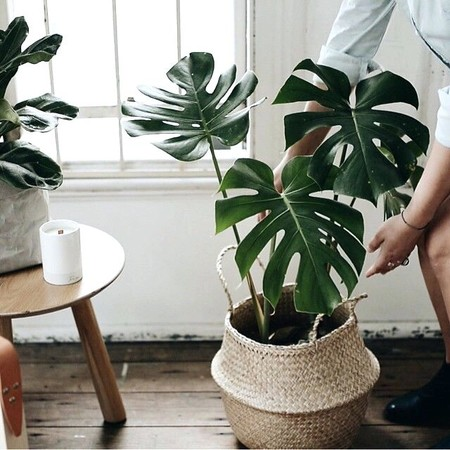 Householdorganizer Uscomseagrass Belly Baskets With Monstera Plant Hanging Basket Plants For Part Shade Basket Plants For Autumn Wicker Baskets For House Plants