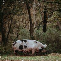 """China está empezando a criar cerdos del """"tamaño de osos polares"""" porque necesita más de 10 millones de toneladas de carne este año"""
