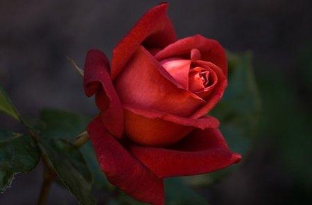 Ritual de la Rosa de Alqvimia, un tratamiento de cabina especial para la mujer