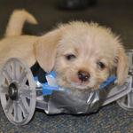 Este perro nacido sin patas delanteras camina gracias a una impresora 3D