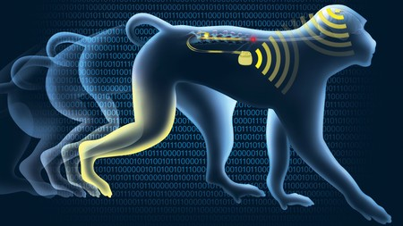 Por primera vez han logrado que monos paralíticos vuelvan a caminar gracias a implantes cerebrales