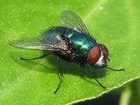 El aroma de una cerveza afecta a las moscas
