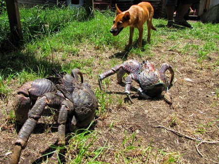 Mariscada extrema: el mayor cangrejo del mundo está delicioso (pero para probarlo quizás pierdas un dedo)