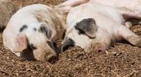 Se abre la puerta a los trasplantes de corazones de cerdo genéticamente modificados