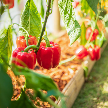 El pimiento es el rey del verano: descubre sus propiedades y usos en la cocina y disfrútalo con estas 13 recetas
