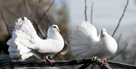 Pigeons 1355123 1280