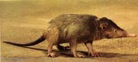 Veneno en mamíferos: ornitorrinco, musarañas y el solenodonte