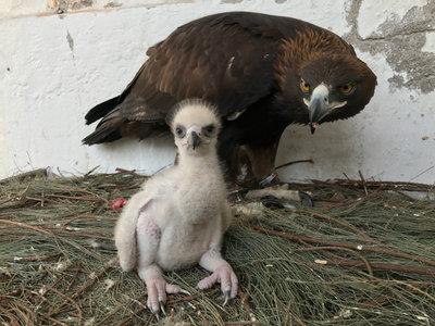 Este es el primer ejemplar de águila real nacido en México por inseminación artificial