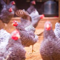 La gallina transgénica de los huevos curativos
