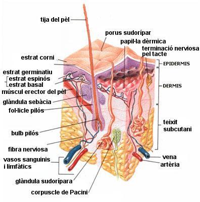 Los granos sobre la persona de por la tonsilitis