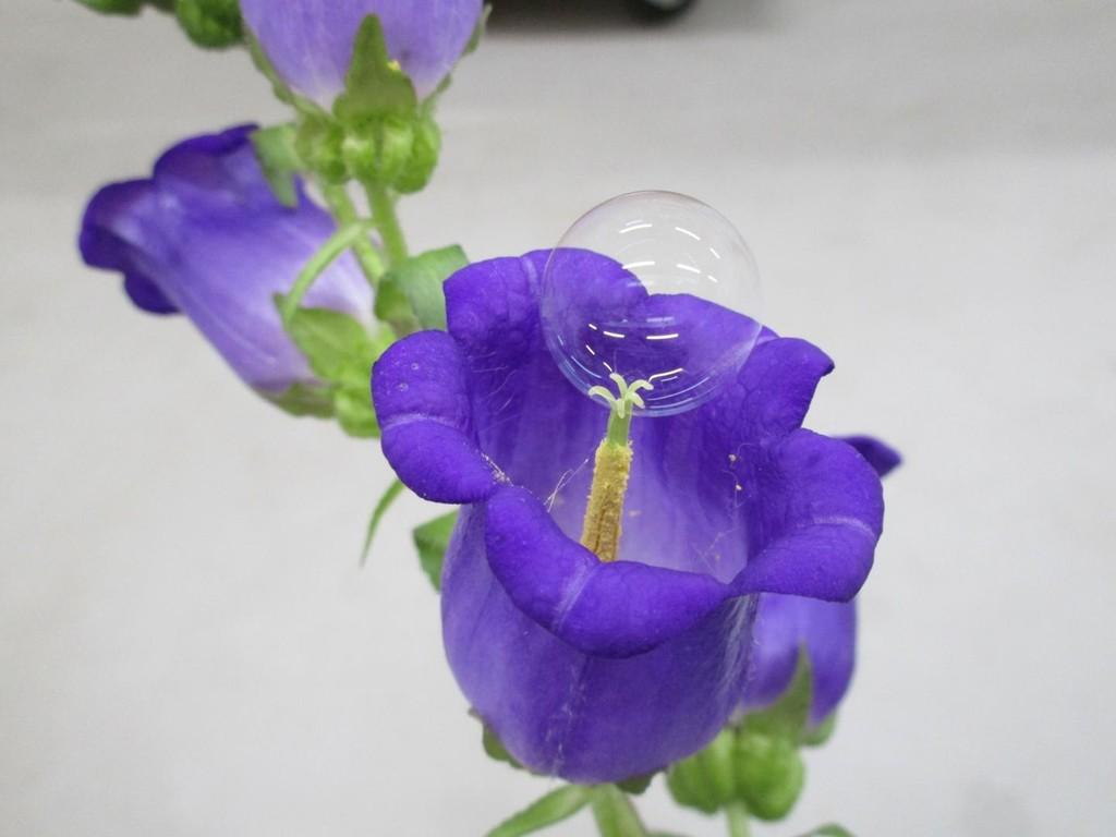 Estos científicos tienen una solución a la disminución de insectos polinizadores: hacer pompas de jabón