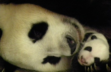 Oso con panda zoo madrid
