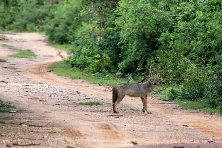 Coyote Sri