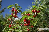 Disfrutamos de las IX Jornadas Gastronómicas de la Cereza Picota en el Valle del Jerte