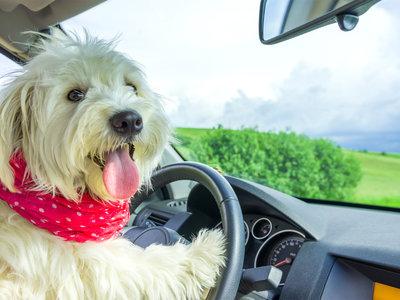 ¿Por qué nunca un perro puede ir sentado en el asiento delantero?