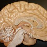 Correr mucho reduce el cerebro...¿En serio?
