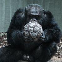Usando cerebros en miniatura cultivados en placas de Petri empezamos a entender lo que nos separa de los chimpancés y los macacos