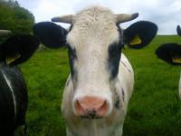 Científicos quieren sacarle provecho al excremento de las vacas obteniendo agua limpia de él