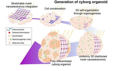 Building Cyborg Organoids Highrez 1