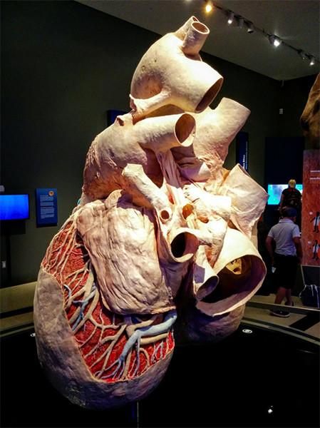 Así es cómo se preserva y exhibe el corazón más grande de la naturaleza