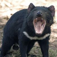 Los primeros diablos de Tasmania nacidos en Australia continental en estado salvaje en 3.000 años