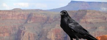 Tras millones de años separadas, las dos únicas especies de cuervo están convergiendo en una sola