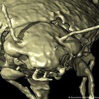 Este es el primer insecto descrito a partir de heces fósiles, probablemente de un dinosaurio